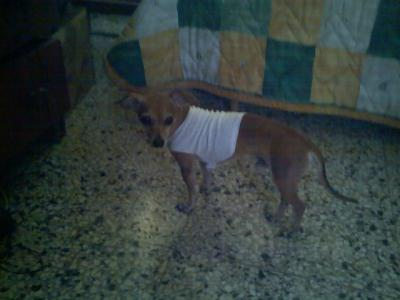 Chihuahua Clothes | Chihuahua Clothing |Chihuahua Dog Clothes