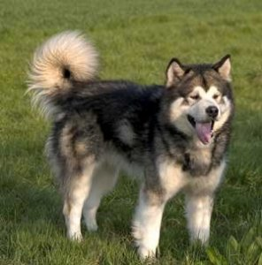 Alaskan+Malamute+Information+Breed